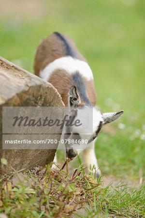 Close-up of a domestic goat (Capra aegagrus hircus) kid, grazing in meadow in spring, Bavaria, Germany