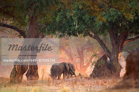 Elephants - Loxodonta africana - in Acacia and Sausage Tree woodlands at dawn, Mana Pools National Park, Zimbabwe
