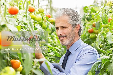 Botanist examining tomato plants in greenhouse