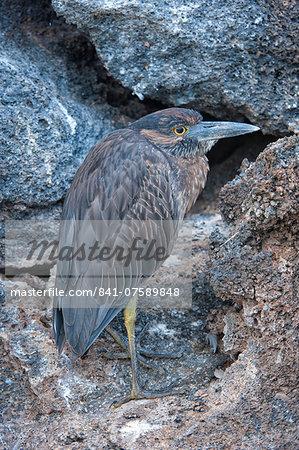 Yellow-crowned night-heron (Nyctanassa violacea), Genovesa Island, Galapagos, UNESCO World Heritage Site, Ecuador, South America