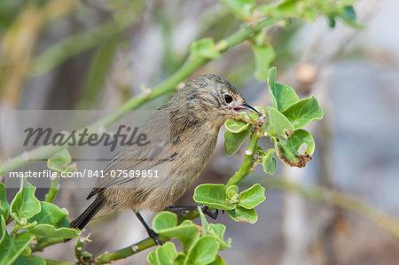 Warbler finch (Certhidea olivacea), Genovesa Island, Galapagos, UNESCO World Heritage Site, Ecuador, South America