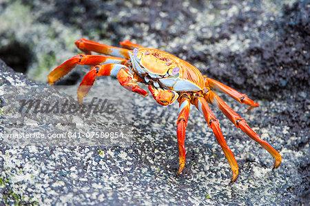Sally Lightfoot crab (Grapsus grapsus), Galapagos, Ecuador, South America