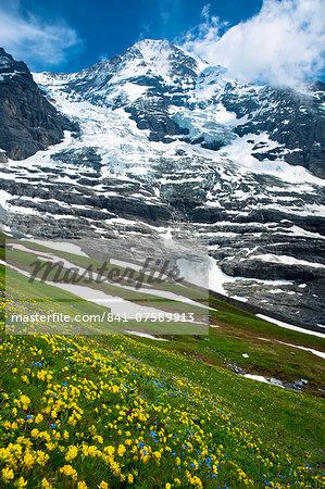 Alpine wildflowers, the Eiger Glacier (Eigergletscher), and Monch mountain in the Swiss Alps, Switzerland, Europe