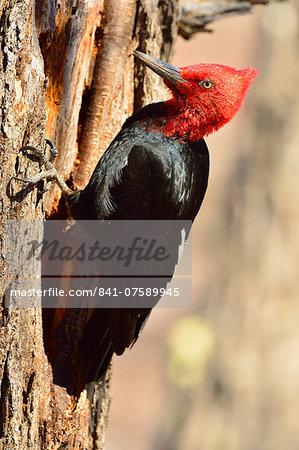 Magellanic woodpecker (Campephilus magellanicus), Santa Cruz, Patagonia, Argentina, South America