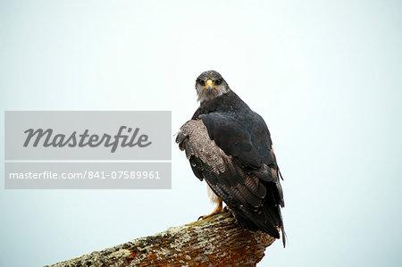 Black chested buzzard eagle (Geranoaetus melanoleucu) adult female, Santa Cruz province, Patagonia, Argentina, South America