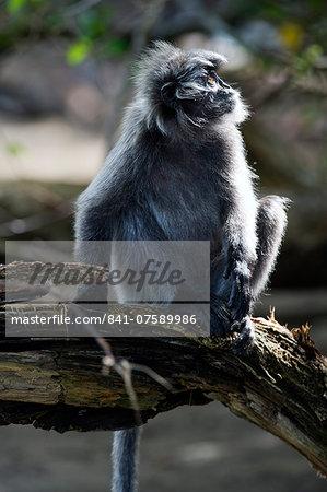 Silvered leaf monkey (Trachypithecus cristatus cristatus), Bako National Park, Sarawak, Borneo, Malaysia, Southeast Asia, Asia