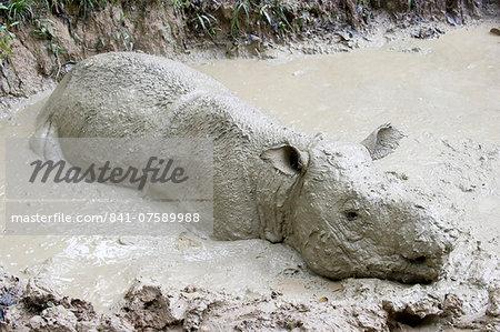Female Sumatran rhino (Borneo rhino) (Dicerorhinus sumatrensis) in wallow, Tabin Reserve, Sabah, Borneo, Malaysia, Southeast Asia, Asia