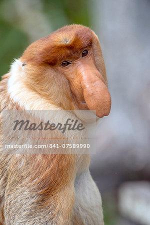 Dominant male proboscis monkey (Nasalis larvatus) has a pendulous nose that covers the mouth and is attractive to females, Labuk Bay Proboscis Monkey Sanctuary, Sabah, Borneo, Malaysia, Southeast Asia, Asia