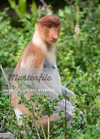 Female proboscis monkey (Nasalis larvatus), Labuk Bay Proboscis Monkey Sanctuary, Sabah, Borneo, Malaysia, Southeast Asia, Asia