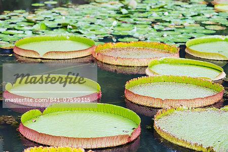 Lily pads, Botanic Gardens, Singapore, Southeast Asia, Asia