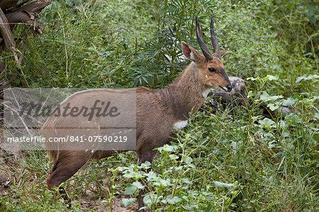 Bushbuck (imbabala) (Tragelaphus sylvaticus) buck, Kruger National Park, South Africa, Africa