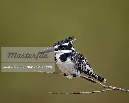 Pied kingfisher (Ceryle rudis), Kruger National Park, South Africa, Africa