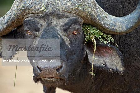 Cape buffalo (African buffalo) (Syncerus caffer) bull, Kruger National Park, South Africa, Africa
