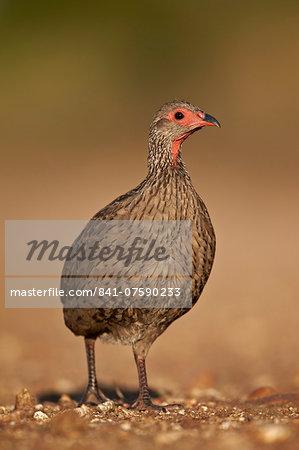 Red-Necked Spurfowl (Red-Necked Francolin) (Francolinus afer) (Pternistes afer), Kruger National Park, South Africa, Africa
