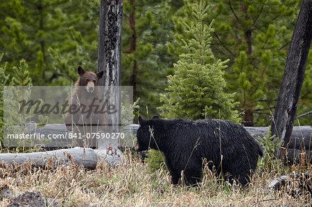 Black Bear (Ursus americanus) sow and cub, Yellowstone National Park, Wyoming, United States of America, North America