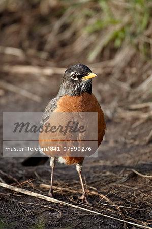 American Robin (Turdus migratorius), Yellowstone National Park, Wyoming, United States of America, North America