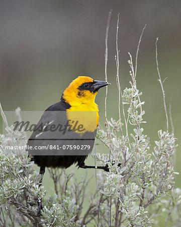Male Yellow-Headed Blackbird (Xanthocephalus xanthocephalus), Yellowstone National Park, Wyoming, United States of America, North America