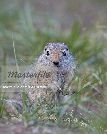 Young Uinta Ground Squirrel (Urocitellus armatus), Yellowstone National Park, Wyoming, United States of America, North America