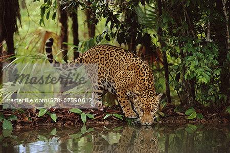 Jaguar drinking, Panthera onca, Belize
