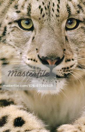 A Snow leopard, Uncia uncia, in an enclosure.