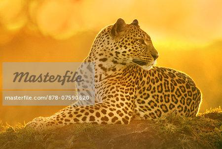Leopard female resting, Panthera pardus, Masai Mara Reserve, Kenya