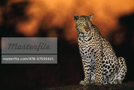 Leopard at dusk, Panthera pardus, Masai Mara Reserve, Kenya