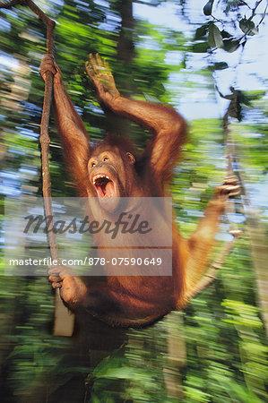 Orangutan juvenile swinging, Pongo pygmaeus, Sepilok Reserve, Sabah, Borneo