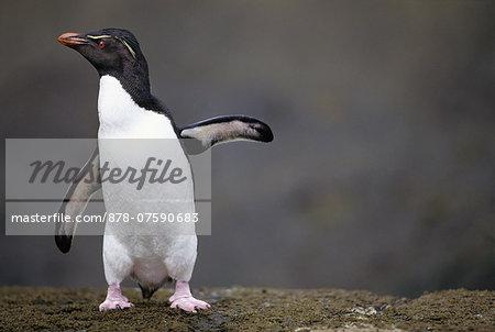 Rockhopper penguin, Eudyptes chrysocome, Falkland Islands