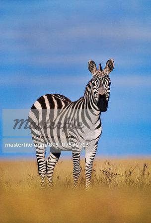 Zebra, Equus quagga, Masai Mara Reserve, Kenya
