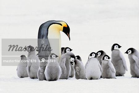 Emperor penguin with chicks, Aptenodytes forsteri, Antarctica