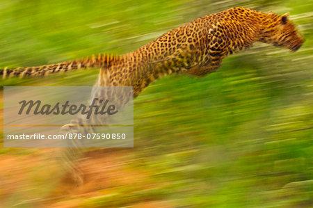 Leopard leaping, Panthera pardus, Niokolo-Koba National Park, Senegal