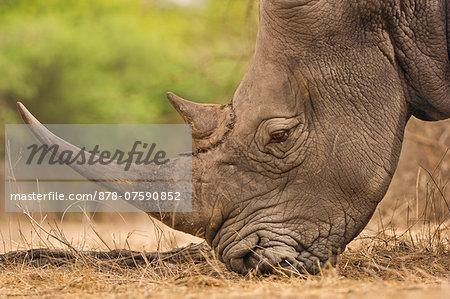 White rhinoceros grazing, Ceratotherium simum, Bandia Reserve, Senegal