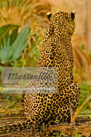 Leopard rear view, Panthera pardus, Niokolo-Koba National Park, Senegal