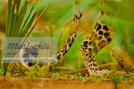 Leopard tail, Panthera pardus, Niokolo-Koba National Park, Senegal