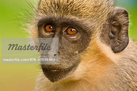 Green Vervet Monkey, Chlorocebus sabaeus, Niokolo-Koba National Park, Senegal