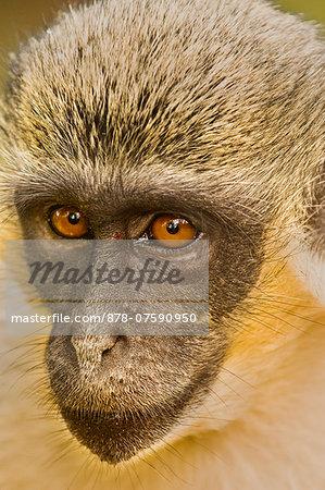 Green monkey, Chlorocebus sabaeus, Niokolo-Koba National Park, Senegal