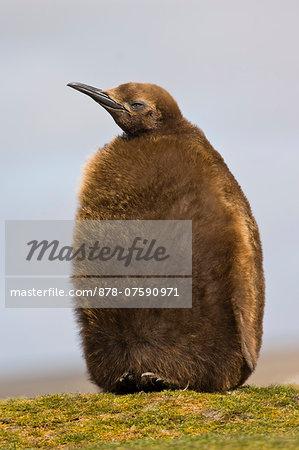 King penguin chick, Aptenodytes patagonicus, Falkland Islands