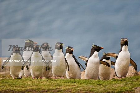 Rockhopper penguins, Eudyptes chrysocome, Saunders Island, Falkland Islands