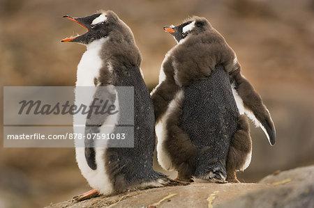 Molting Gentoo penguin chicks, Pygoscelis papua, Port Lockroy, Antarctica