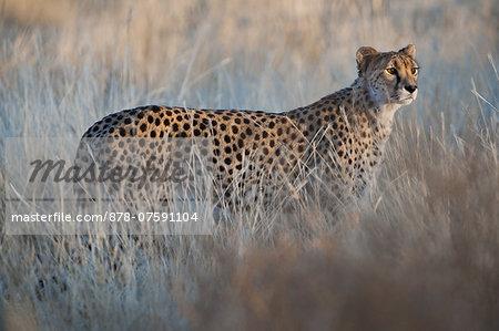 Cheetah, Acinonyx jubatus, Cheetah Conservation Fund, Namibia