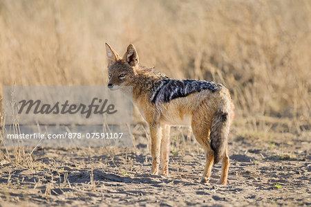 Black-backed jackal, Canis mesomelas, Namib-Naukluft National Park, Namibia