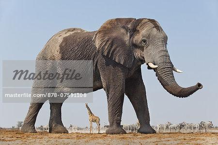 Elephant bull, Loxodonta africana, Etosha National Park, Namibia