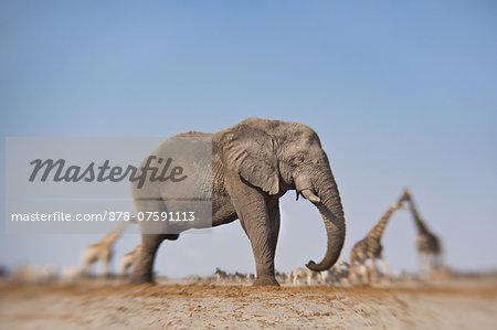 Elephant impression, Loxodonta africana, Etosha National Park, Namibia