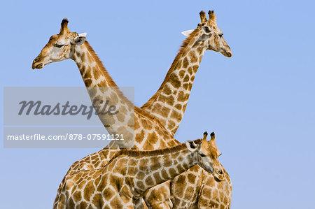 Giraffes, Giraffa camelopardalis, Etosha National Park, Namibia