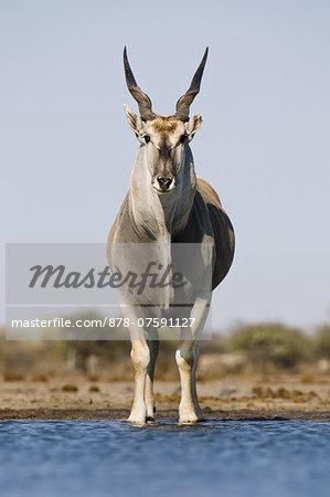 Eland male at waterhole, Taurotragus oryx, Etosha National Park, Namibia