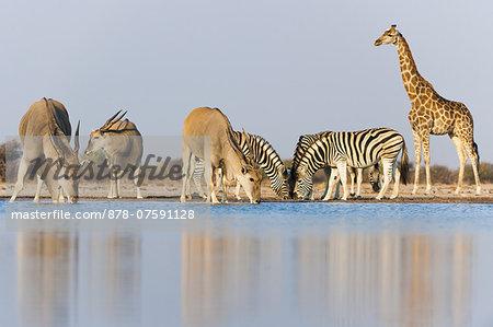 Giraffe, Giraffa camelopardalis, zebras, Equus quagga, and elands, Taurotragus oryx, at waterhole, Etosha National Park, Namibia