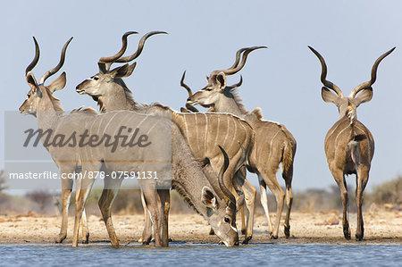 Greater kudu males at waterhole, Tragelaphus strepsiceros, Etosha National Park, Namibia