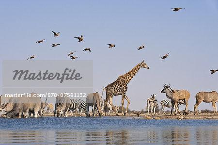 Giraffe, Giraffa camelopardalis, zebras, Equus quagga, greater kudus, Tragelaphus strepsiceros, and Namaqua sandgrouse, Pterocles namaqua, at waterhole, Etosha National Park, Namibia