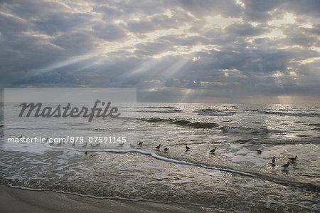 Shorebirds at tideline, Hilton Head, South Carolina, USA