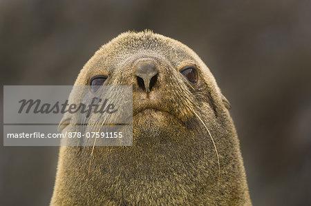 Antarctic fur seal male, Arctocephalus gazella, Orkney Islands, Antarctica